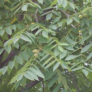 маньчжурский орех, листья и плоды