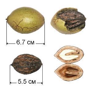 маньчжурский орех, строение плода